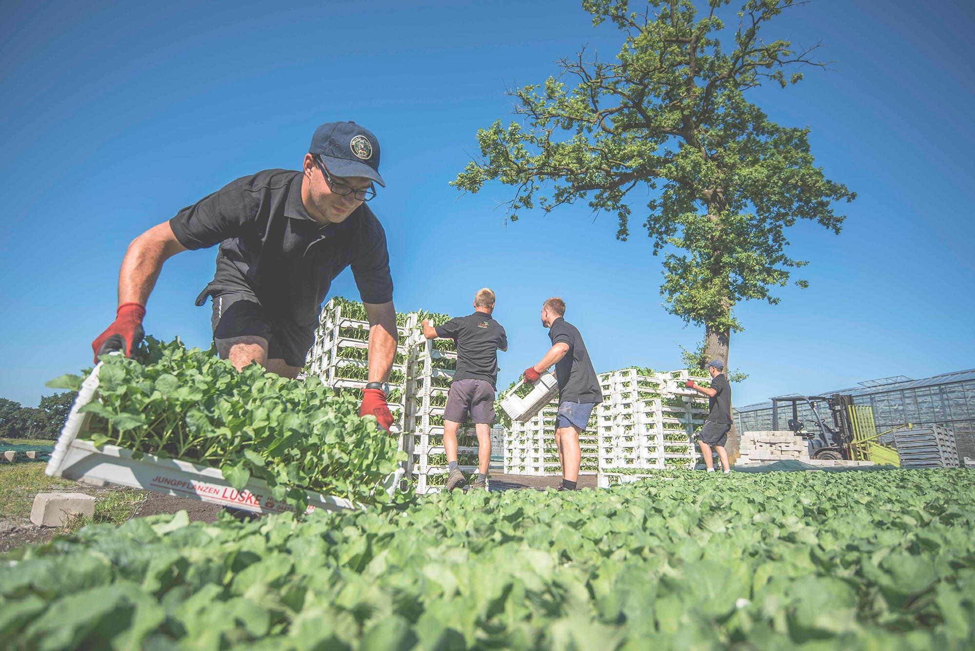 Lüske Jungpflanzen - Feldarbeit